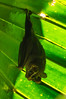 Common Tent-making Bat<br /> We spotted this Common Tent-making Bat sleeping inside a giant fern tree in the Casa Orquideas Botanical Gardens in Costa Rica.