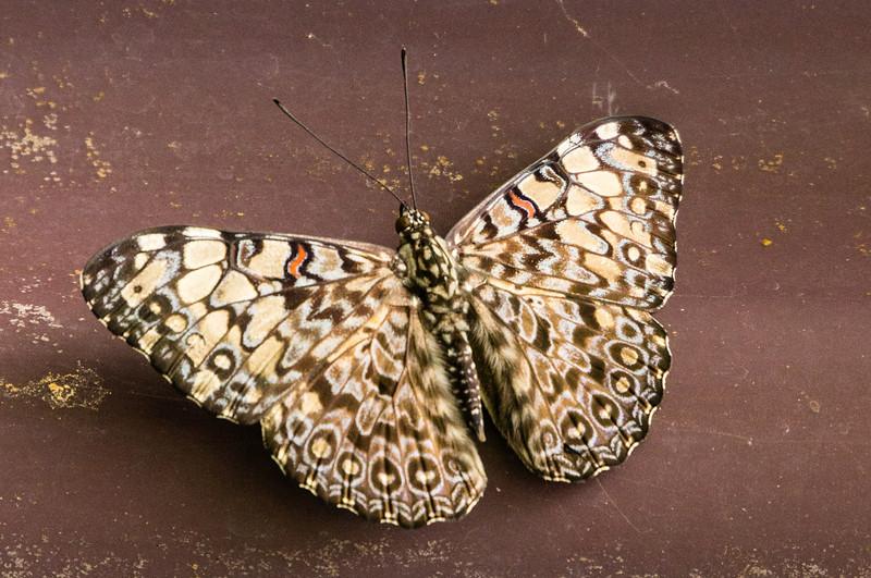 Hamadrymas Butterfly<br /> A Hamadrymas Butterfly seen in the Butterfly Garden in Monteverde.