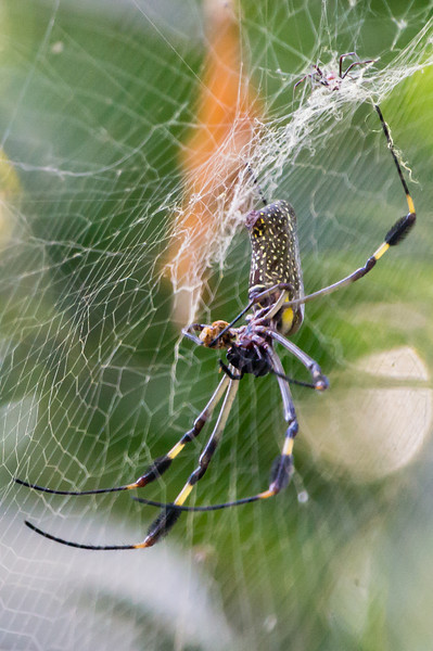 Golden Orb Spider<br /> We saw a lot of these female Golden Orb Spiders along the paths in Costa Rica.  This one was seen in Manuel Antonio National Park.