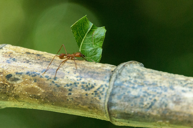 Leafcutter Ant<br /> A single Leafcutter Ant carying a piece of leaf back to its nest.  The leaf will be partially diagested by the ants and then feed to a captive fungas, which in turn is used as food by the ants.  (Butterfly Garden, Monteverde, Costa Rica.)