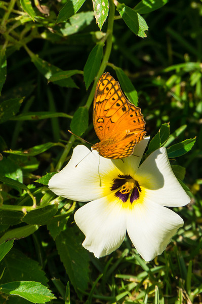 Orange Julia on Flower<br /> An Orange Julia butterfly on a flower in the Casa Orquideas Botanical Gardens in Costa Rica.