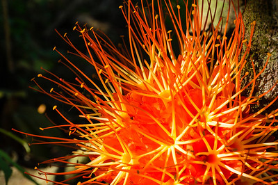 Brownea or Venezuela Rose A close up a Brownea or Venezuela Rose in the Casa Orquideas Botanical Gardens in Costa Rica.