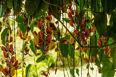 Flowering Vine This flowering vine was along side the building in the Butterfly Gardens in Monteverde.