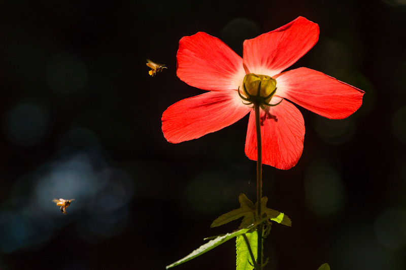 Flower and Bees<br /> The back lighting makes for an interesting view of this flower being pollinated by a pair of bees in the Casa Orquideas Botanical Gardens in Costa Rica.