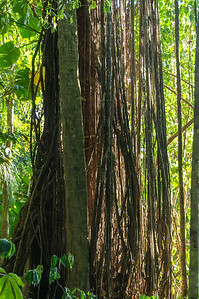 Vines and Tree Roots A dense set of vines and tree roots seen along the Pargo Trail in San Pedrillo section of Corcovado National Parkl in Costa Rica.
