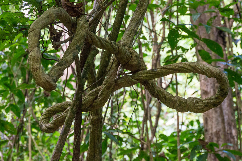 Knotted Tree<br /> An interesting vine seen along the trail through Caletas Reserve, Costa Rica.
