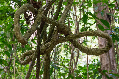 Knotted Tree An interesting vine seen along the trail through Caletas Reserve, Costa Rica.