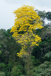Yellow Poui Tree This is one of the many Yellow Poui trees in bloom along the coast of Lake Gatun, in the Panama Canal.