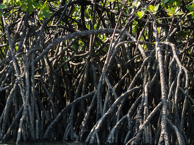 Mangrove Roots A close up of some Mangrove Roots, seen during our kayak trip around the Golfito area of the Costa Rica Pacific coast.