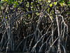 Mangrove Roots<br /> A close up of some Mangrove Roots, seen during our kayak trip around the Golfito area of the Costa Rica Pacific coast.