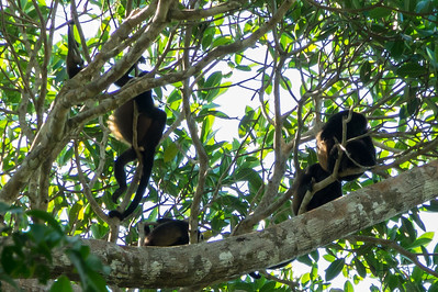 Family of Howler Monkeys A family of Mantle Howler monkeys high in the trees above the Pargo Trail in San Pedrillo section of Corcovado National Parkl in Costa Rica.