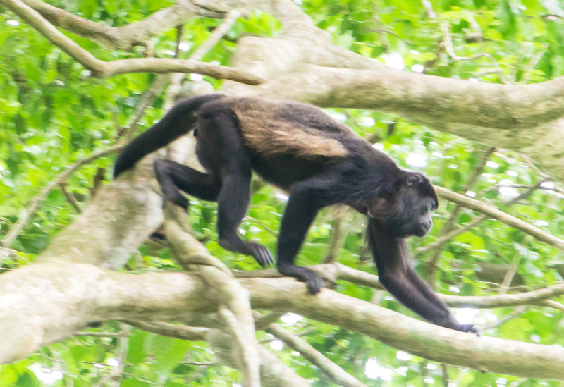 Spider Monkey<br /> Spiderk monkey moving along a branch on Barro Colorado Island, in Lake Gatun, in the Panama Canal.