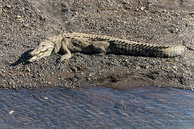 American Crocodile An American Crocodile smiles at us from a river bank in Costa Rica.