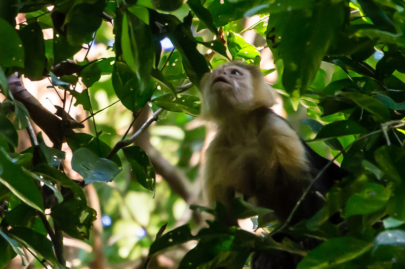 Capuchin Monkey<br /> A White-face Capuchin Monkey, high in the trees along the Pargo Trail in San Pedrillo section of Corcovado National Parkl in Costa Rica.