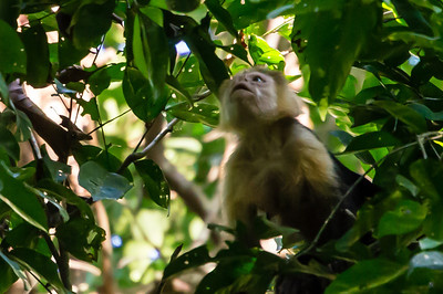 Capuchin Monkey A White-face Capuchin Monkey, high in the trees along the Pargo Trail in San Pedrillo section of Corcovado National Parkl in Costa Rica.