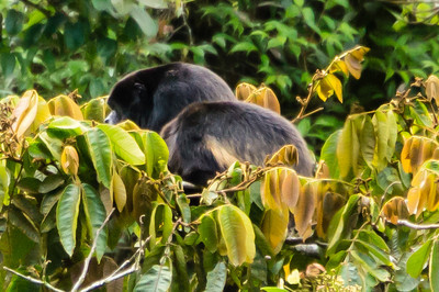 Mantle Howler Monkeys A pair of Mantle Howler Monkeys, lazing around in the tree tops alongside the Sky Walk through the Monteverde Cloud Forest.