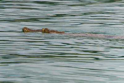American Crocodile in River This American Crocodile passed next to our Zodiac in the Agujitas River in Costa Rica.