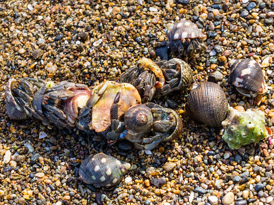 Hermit Crabs Hermit Crabs righting over food on the beach at Caletas Reserve in Costa Rica.