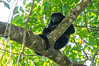 Mantled Howler Monkey<br /> This Mantled Howler Monkey was resting high in the trees in Manuel Antonio National Part, Costa Rica.