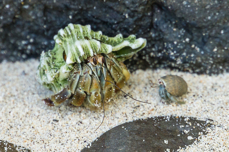 Hermit Crabs, Big and Little<br /> A pair of hermit crabs, the larger one sporting a unique shell.  (Granito de Oro, Isla Coiba National Park, Panama.)