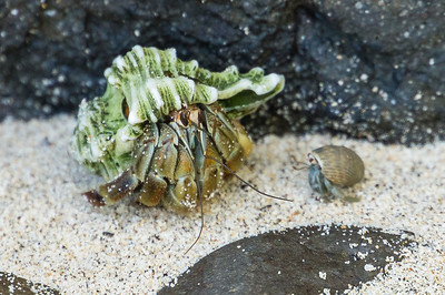 Hermit Crabs, Big and Little A pair of hermit crabs, the larger one sporting a unique shell.  (Granito de Oro, Isla Coiba National Park, Panama.)