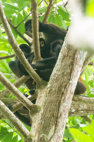 Family of Spider Monkeys<br /> A family of spider monkeys high in the tree tops of Barro Colorado Island, Lake Gatun, Panama Canal.