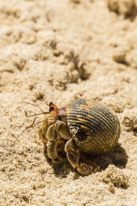 Sandy Hermit Crab One last Hermit Crab from the Granitd de Oro beach.  (Granito de Oro, Isla Coiba National Park, Panama.)