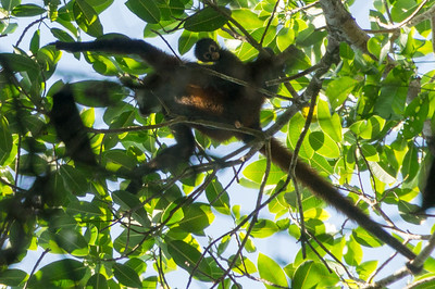 Spider Monkey, Mom and Baby High in the tree tops along the Pargo Trail, I spotted this Spider monkey mom carying her baby on her back.  (San Pedrillo section of Corcovado National Parkl in Costa Rica.)  Fun fact: the female Spider Monkey has a very noticible, elongated clitoris as seen in this picture.