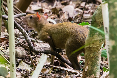 Central Americal Agouti This is a Central Americal Agouti, seen in the rain forest on Barro Colorado Island, on Lake Gatun, in the Panama Canal.