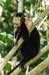 Capuchin Monkey Eating A White-headed Capuchin Monkey eating along the trail in Manuel Antonio National Park, Costa Rica.