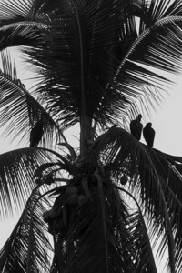 Black Vultures in a Tree Black Vultures sitting in an tree overlooking the ocean at Isla Coiba National Park, Panama.