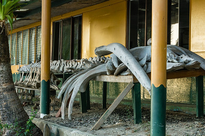 Whale Bones Bones on display at the Isla Coiba National Park, park headquarters, Panama.  They were not labeled, but I suspect whale bones.
