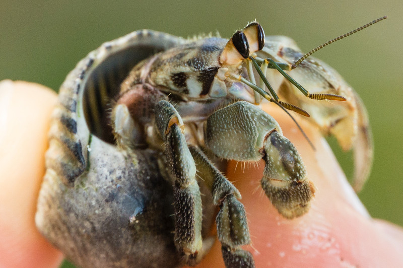Hermet Crab in Hand<br /> Close up of a Hermit Crab. (Granito de Oro, Isla Coiba National Park, Panama.)