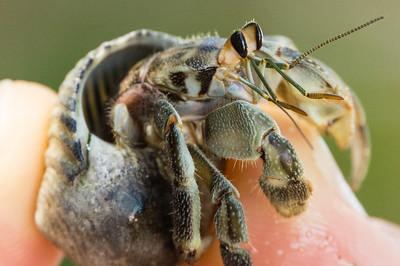 Hermet Crab in Hand Close up of a Hermit Crab. (Granito de Oro, Isla Coiba National Park, Panama.)