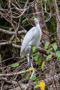 Snowy Egret A Snowy Egret perched in a tree along the Agujitas River in Costa Rica.