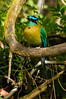 Blue-crowned Motmot<br /> This Blue-crowned Motmot (identification uncertain) was seen outside the Bat Jungle in Monteverde.