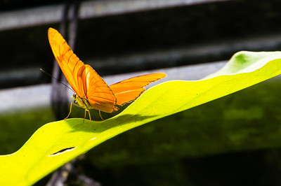 Orange Julia An Orange Julia butterfly from the Butterfly Garden in Monteverde, Costa Rica.