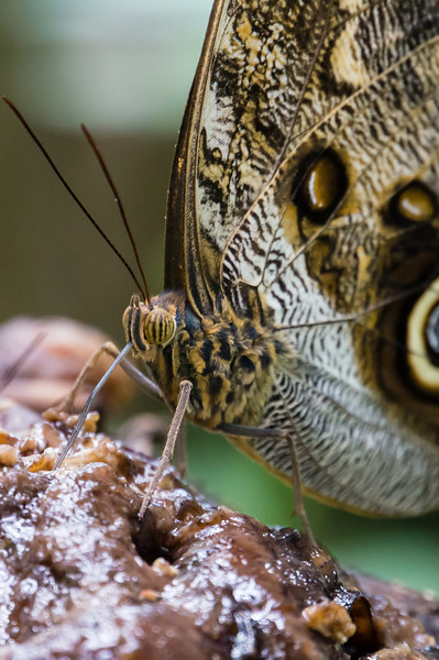Hamadrymas Butterfly Close Up<br /> Close up picture of the head of a Hamadrymas Butterfly butterfly.  (Butterfly Gardens in Monteverde.)