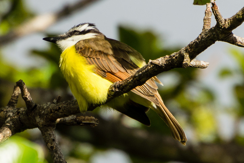 Great Kiskadee<br /> A Great Kiskadee bird seen ina tree in Monteverde.