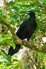 Black Guan<br /> This Black Guan was also visible in the trees next to the parking lot of the Monteverde Cloud Forest Preserve.