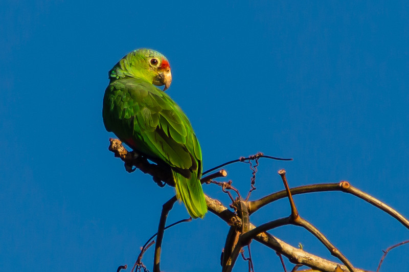 Red Lored Parrot<br /> A Red Lored Parrot perched on a tree at the Isla Coiba National Park, park headquarters, Panama.