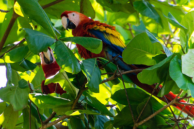 Scarlet Macaws A pairt of Scarlet Macaws seen in a tree at the beach at Playa Caletas in Costa Rica.