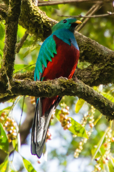 Resplendent Quetzel<br /> We were lucky to see this Resplendent Quetzel bird in the parking lot of the Monteverde Cloud Forest Preserve.