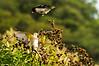 Rose Breasted Grosbeaks<br /> Two Rose Crested Grosbeaks in action in Monteverde.