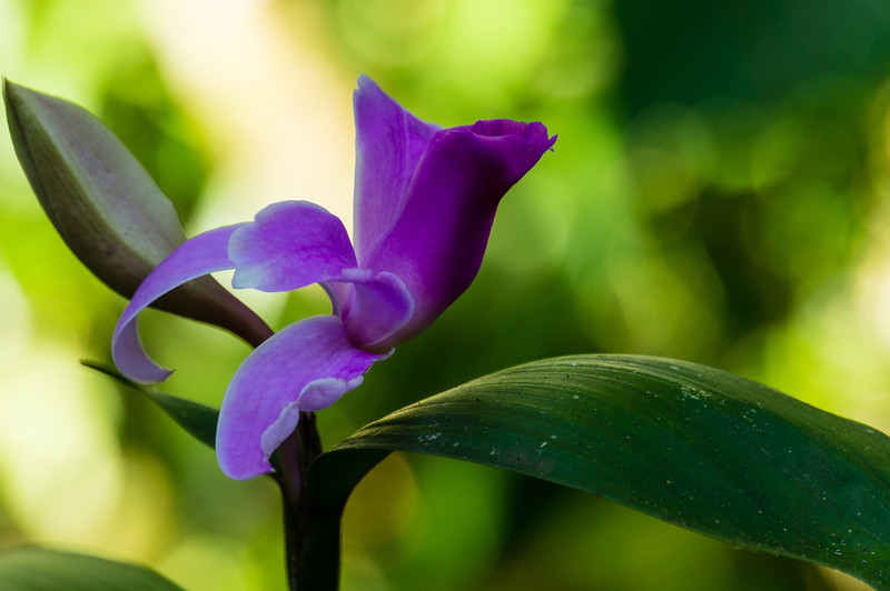 Another View of Sobralia Orchid<br /> A Sobralia Orchid from the Casa Orquideas Botanical Gardens in Costa Rica.