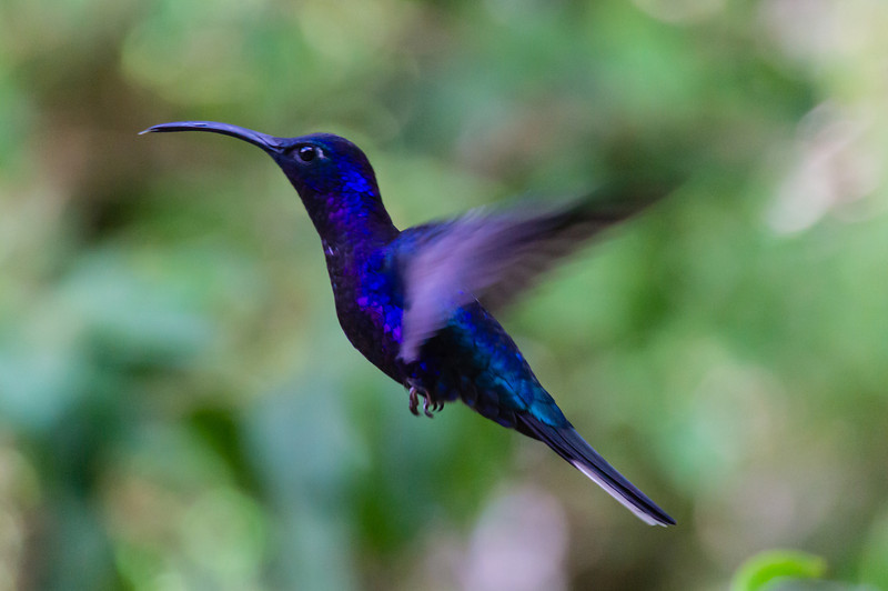 Violet Saprewing<br /> This is a Violet Saprewing humming bird captured in flight.  Taken at the hummingbird feeders on the way to the Monteverde Cloud Forest Reserve.<br /> (Gallery: Travel Journals > Costa Rica 12 > Top 50 Photographs)