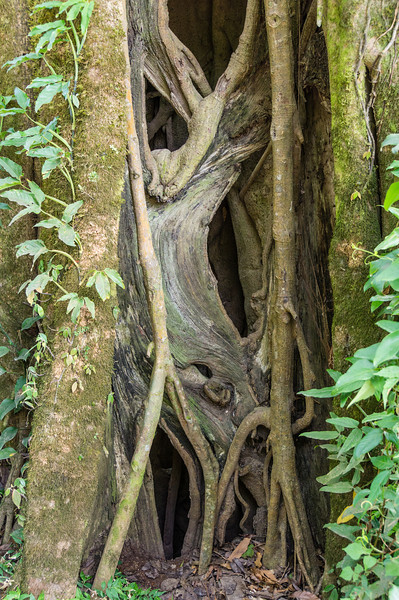Strangler Fig Exterior<br /> This is a picture of Strangler Fig vines, long after the host tree has died off and decayed away.