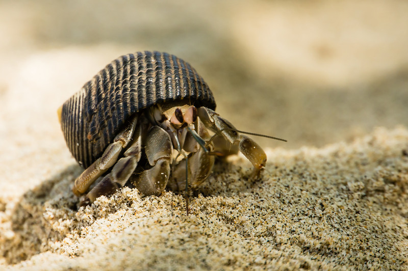 Another Hermit Crab<br /> This crab is just looking for a way to get away from the noisy photographer.  (Granito de Oro, Isla Coiba National Park, Panama.)