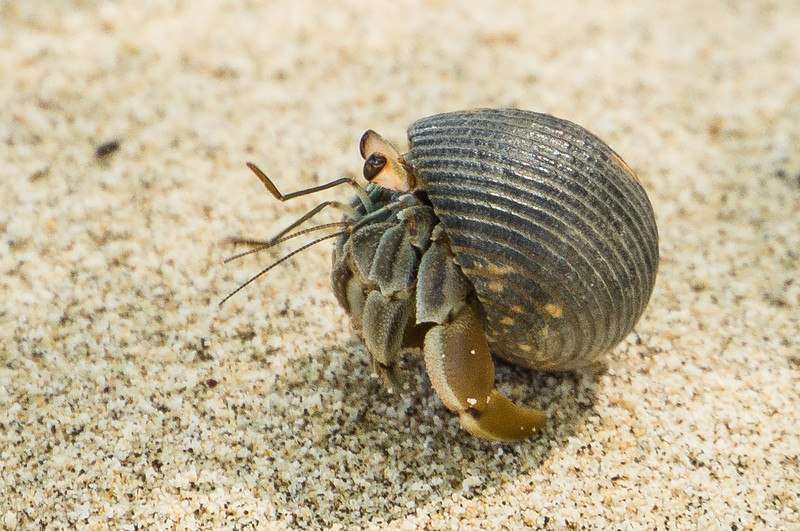 Round Hermit Crab<br /> This hermit crab was thinking about coming out of its shell in order to scurry off.  (Granito de Oro, Isla Coiba National Park, Panama.)