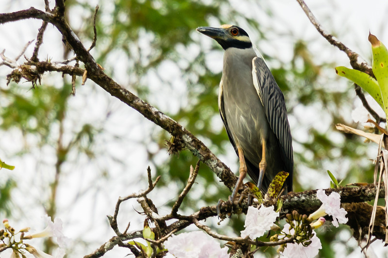 Yellow Crown Night Heron<br /> This Yellow Crown Night Heron was seen along the Agujitas River in Costa Rica, during our Zodiac tour.